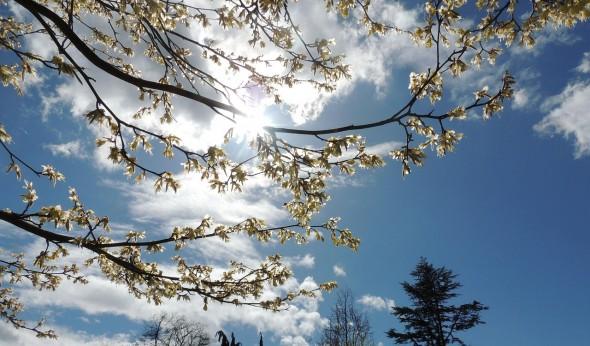 cherry-blossom-380977_1280