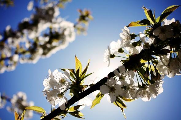 cherry-blossom-407018_1280