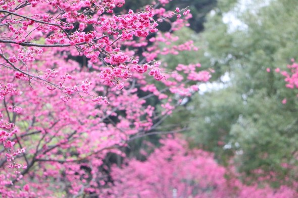 cherry-blossoms-658944_1280